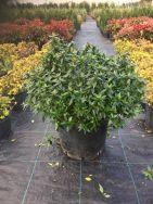 Abelia Grandiflora Prostrata