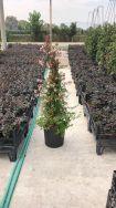 Abelia Grandiflora Pyramidalis