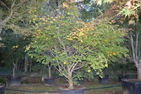 """Acer japonicum """"Aconitifolium"""""""