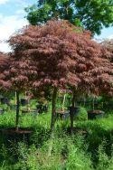"""Acer palmatum dissectum  """"Crimson queen"""""""
