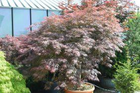 "Acer palmatum dissectum ""Inaba shidare"" 180/200 (Sommer)"