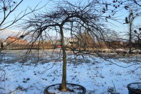 """Acer palmatum dissectum """"Inaba shidare"""" 180/200 (Winter)"""