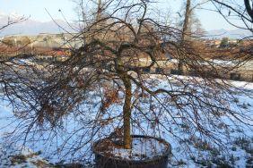 """Acer palmatum dissectum """"Inaba shidare"""" 200/220"""