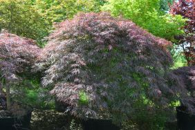 "Acer palmatum dissectum ""Inaba shidare"" 200/220 (Sommer)"
