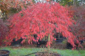 """Acer palmatum dissectum """"Inaba shidare"""""""