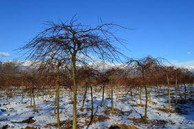 """Acer palmatum """"Dissectum"""" - Winter"""