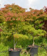 """Acer palmatum Linearilobum """"Atrolineare"""""""