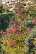 """Acer palmatum linearilobum """"Red pigmy"""""""