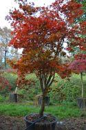 "Acer palmatum ""Masu kagami"""