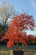 """Acer palmatum """"Nicholsonii"""""""