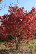 "Acer palmatum ""Osakazuki"" - Autumn"