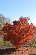 "Acer palmatum ""Polymorphum"""