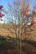 """Acer palmatum """"Suminagashi"""""""