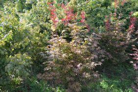 """Acer palmatum """"Suminagashi"""" (Sommer)"""