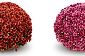 Aduro: intensive Blütenfarbe