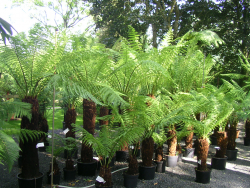 Baumfarne: Botanische Besonderheiten für ein besonderes Sortiment