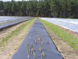 BI-OPL Asparagus Biodegradable film