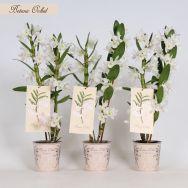 Botanic Orchid