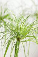 Cyperus papyrus - ein nachhaltiges Produkt