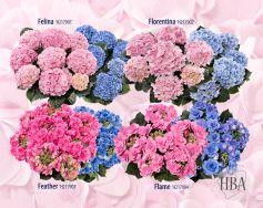 Gefüllte Hydrangea macrophylla Sorten Felina℗, Florentina℗, Feather℗ und Flame℗