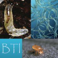 A powerful trio against fungus gnat larvae