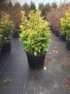 Euonymus Japonica Aurea CLT5