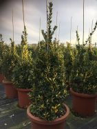 Euonymus Japonica Aurea Variegata