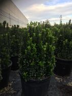 Euonymus Japonica Green Spire