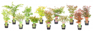 Exclusive product range in Acer and shrubs