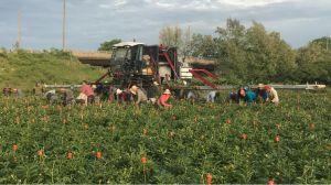 Flower harvesting machine multipurpose