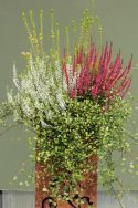 Attractive combination plantings with Calluna Gardengirls