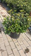Gardenia Japonica