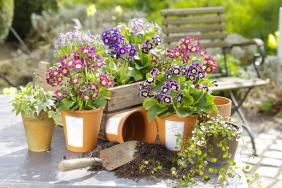 Gartenlegende Aurikel