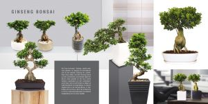 Ginseng Bonsai - Ficus microcarpa