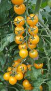 GOLDWIN - The yellow cherry tomato