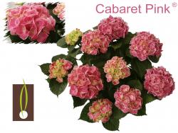 Hortensia 'Cabaret'®