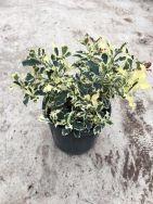 Ilex Aquifolium Variegata CLT5