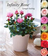 Infinity® - pot roses on own roots