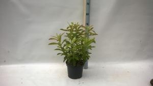 decidious azalia (Rhododendron luteum)