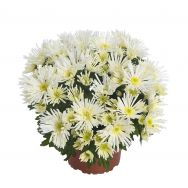 New: Hermosa, a beautiful and unique pot chrysanthemum