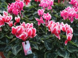 New intermediate F1 Cyclamen Merita