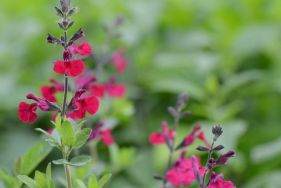 Neue Salbei-Kollektion garantiert üppiges Blütenmeer