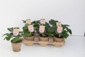 Neue Erdbeerpflanzen 'ZERO PLASTIC'