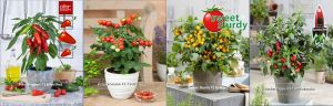 Vegetable pot plants for balcony and garden