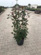 Photinia Fraserii Red Robin 100/150