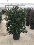 Photinia Fraserii Red Robin Hedge Form