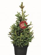 Natürlich und echt: Picea `Little Santa´®