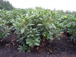 Rhododendron in Hülle und Fülle