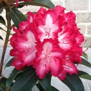 Rhododendron Lumie