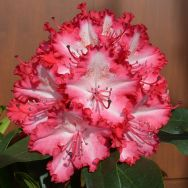 "Rhododendron ""Lumie"" and ""Grifie"""